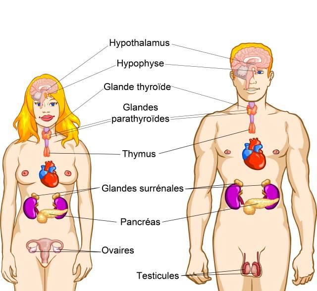 Les hormones, qu'est ce que c'est ? / What hormones are ?